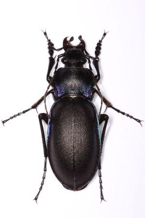 Mounted Carabus violaceus ground beetle isolated on white background photo