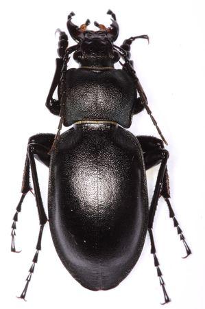 carabidae: Carabus glabratus ground beetle isolated on white background Stock Photo