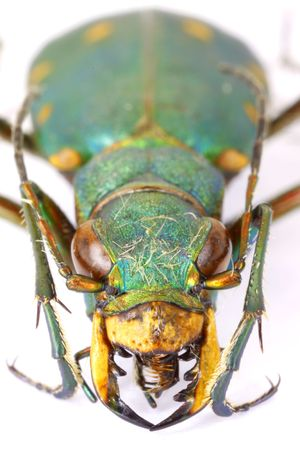 tiger beetle: Mounted Green Tiger beetle isolated on white background
