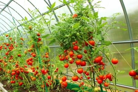 invernadero: Tomates rojos en un invernadero