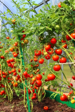 Red tomatoes in a greenhouse photo