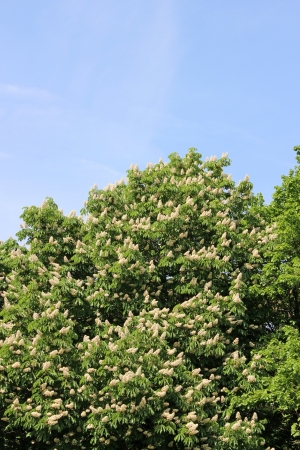 Blooming horse chestnut tree photo