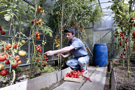 harvests: A worker harvests of red ripe tomatoes in a greenhouse made of transparent polycarbonate Stock Photo