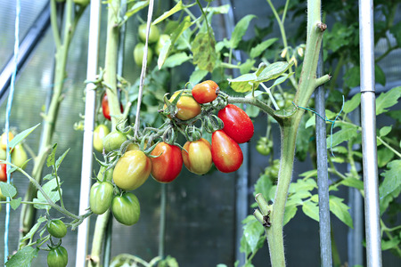 ripening: Branch of ripening green and red tomatoes in a greenhouse Stock Photo