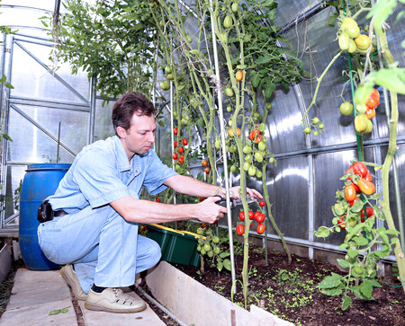 polycarbonate: The worker collects tomatoes in the greenhouse of transparent polycarbonate