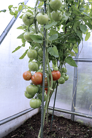 polycarbonate: Ripening green and red tomatoes in a greenhouse made of transparent polycarbonate
