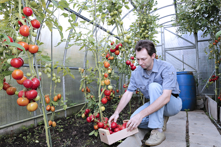 polycarbonate: A worker harvests of red ripe tomatoes in a greenhouse made of transparent polycarbonate Stock Photo