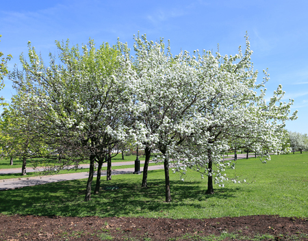 early spring snow: Blossoming apple branch in early spring Stock Photo