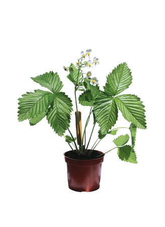 'wild strawberry: Wild strawberry bush in a flowerpot isolated on a white background