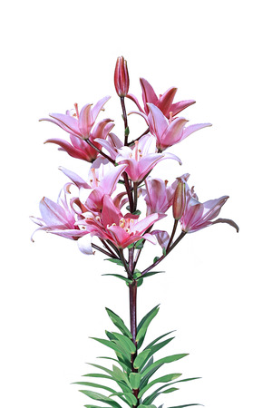 lilia: Flowers and flower buds of a bright pink lilies isolated on white background