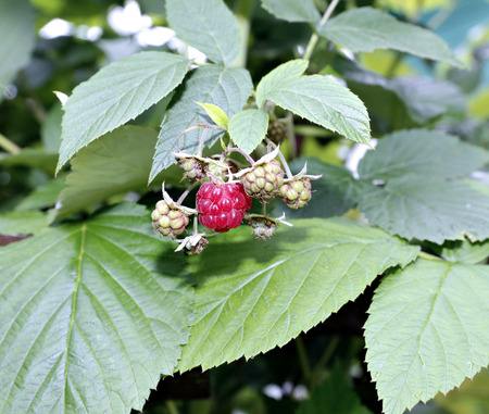 matures: Red raspberries on a branch in a garden