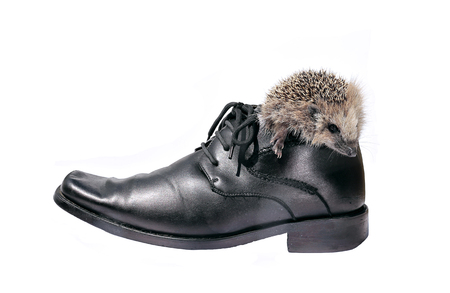 getting out: Little hedgehog, getting out of a black mens shoes isolated on white background Stock Photo