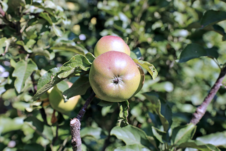 Juicy apples on a branch columnar apple trees in the garden