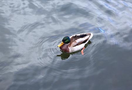 with duck: Las pato nada sobre las olas del lago Foto de archivo