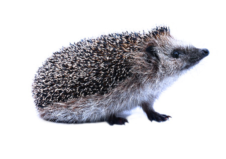 convolute: Little forest hedgehog isolated on white background Stock Photo
