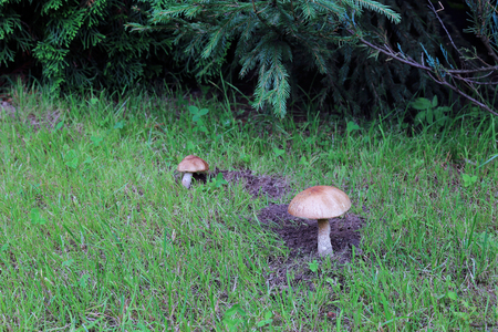 foot fungus: Young boletus mushrooms in the forest