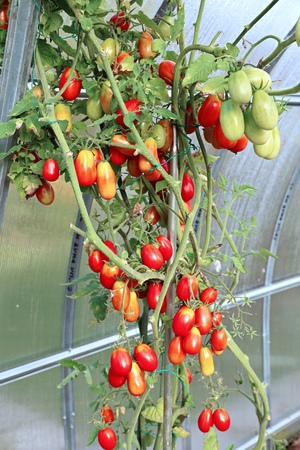 polycarbonate: Red and green tomatoes ripening on the bush in a greenhouse of transparent polycarbonate Stock Photo