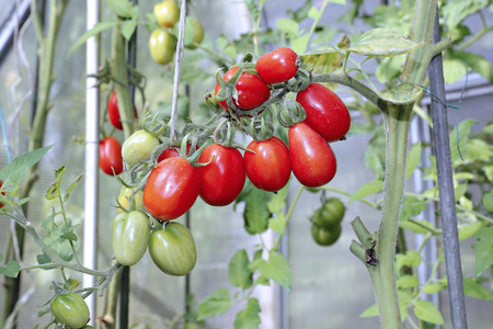 ripening: Bunch of oval red tomatoes ripening in a greenhouse
