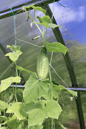 polycarbonate: Cucumber plant in a greenhouse made of transparent polycarbonate