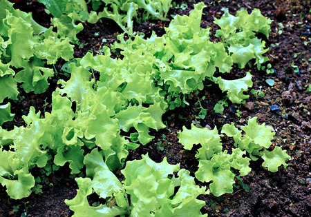 frilled: Young plant of lettuce in the garden