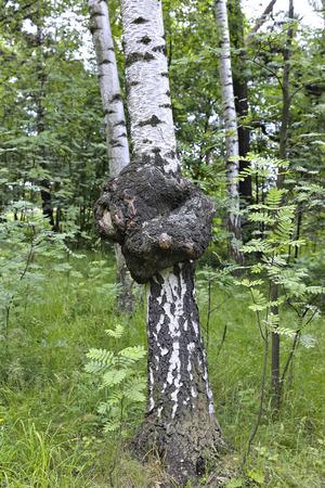 森の白樺の幹に薬用天然チャーガ茸 写真素材