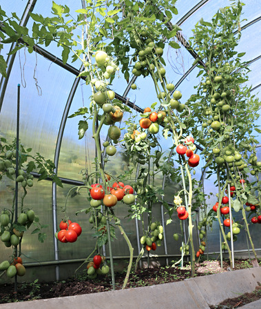 ripening: Ripening green and red tomatoes in a greenhouse made of transparent polycarbonate