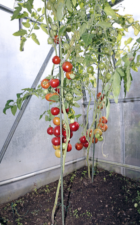 polycarbonate: Red tomatoes in a greenhouse made of transparent polycarbonate