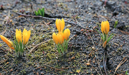 crocuses: Flowers of yellow crocuses in early spring Stock Photo