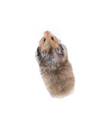 Brown Syrian hamster stands on his hind legs isolated on a white background Stok Fotoğraf