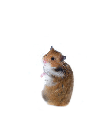thrifty: Brown Syrian hamster stands on his hind legs isolated on a white background Stock Photo