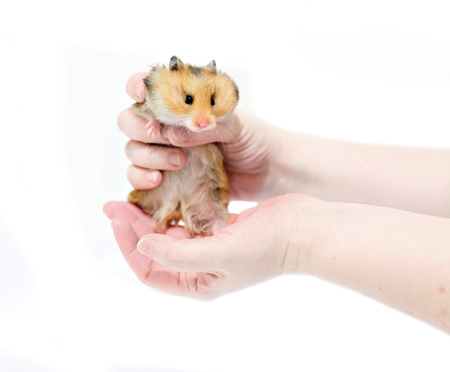 thrifty: Brown Syrian hamster with filled cheeks in hands isolated on a white background Stock Photo