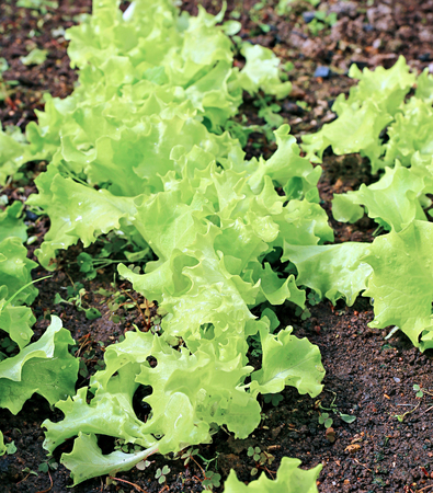 leafy: Plant leafy lettuce in the gardenbed  in the greenhouse