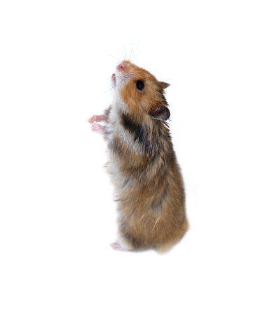 cute hamster: Brown Syrian hamster stands on his hind paws isolated on a white background Stock Photo