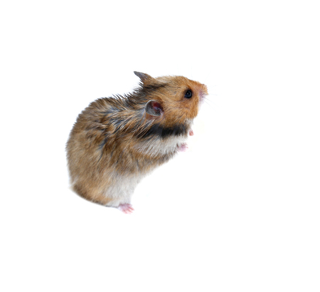 timid: Brown Syrian hamster stands on his hind paws isolated on a white background Stock Photo
