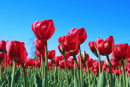 Many red tulips in a flowerbed on a sunny day