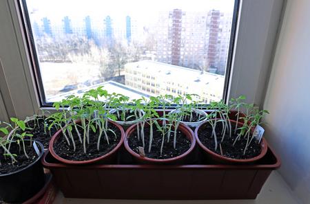 windowsill: Tomato seedlings on the windowsill at home