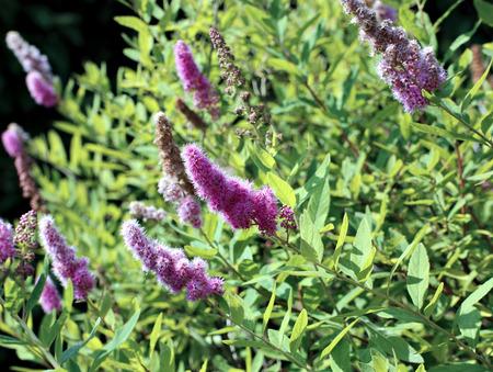 tender: Tender flower pink terry spirea in the garden Stock Photo
