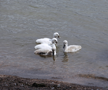 white necked: Young white and gray cubs of swans in the water close to the shore Stock Photo