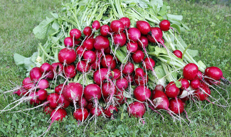 yielding: Many fresh red radishes with leaves on the grass Stock Photo