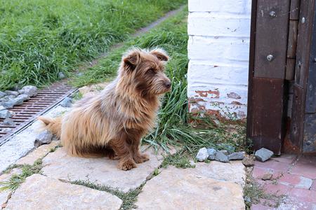 sadly: Shaggy redhead dog sadly waiting the host