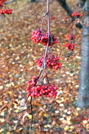 bunches: Red bunches of rowan berries in late autumn