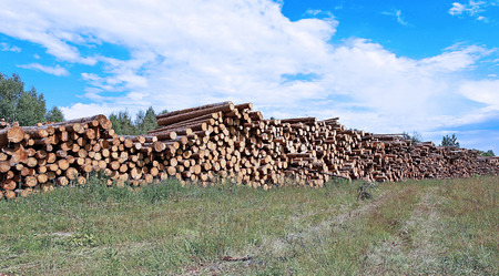 timber harvesting: Harvesting timber logs in a forest in Russia Stock Photo