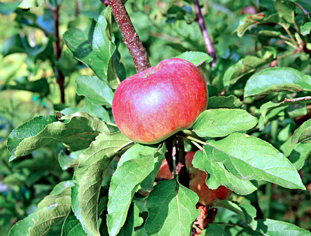 Red juicy apple on a branch columnar apple trees in the garden Stock Photo