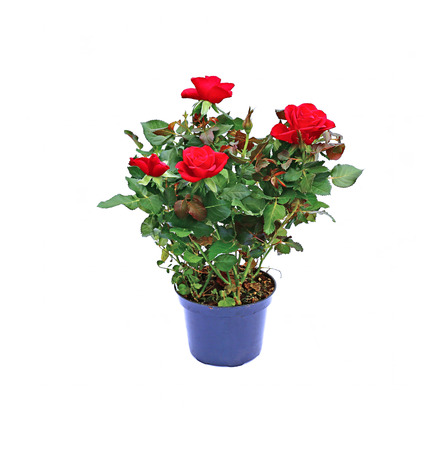red bush tea: Blooming red tea rose bush in a garden pot isolated on white background Stock Photo