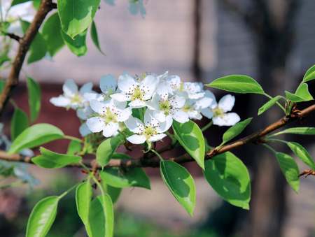 burgeoning: Flowering pear tree branch in early spring Stock Photo