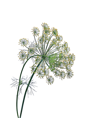 flowering plant: Flowering plant of dill isolated on white background Stock Photo