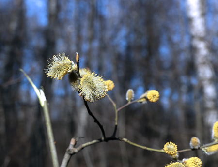 pussy willow: Branch of a blossoming pussy willow in the early spring