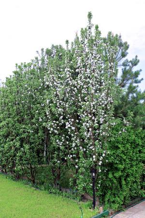 Columnar apple trees in the spring garden Stock Photo