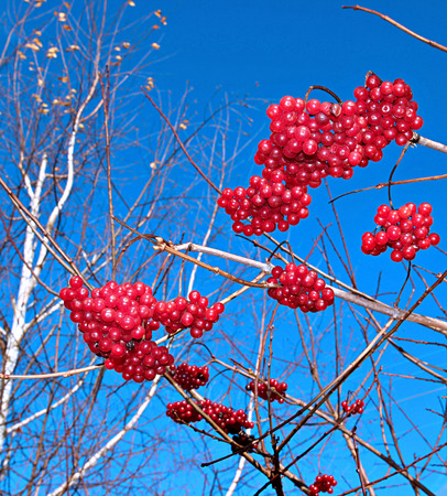 Bright red berries of Viburnum on the branches in the autumn