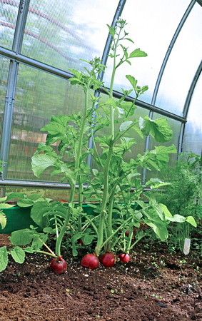 overripe: Overripe radish flowering plants in the greenhouse